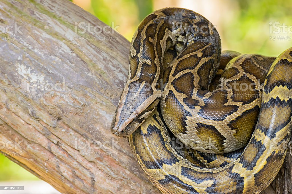 Reticulated python or Python reticulates stock photo