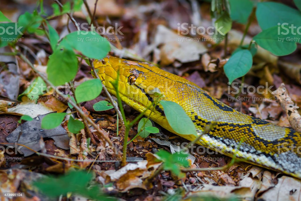 Reticulated python (Python reticulatus) stock photo