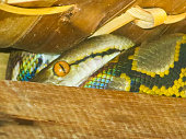 Reticulated Python (Pythonidae) Snake Eye in Roof