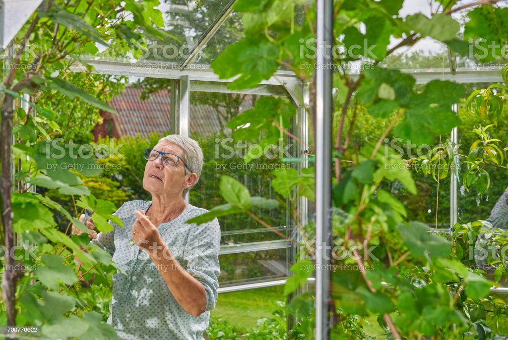 Retired woman minding the plants in the greenhouse stock photo