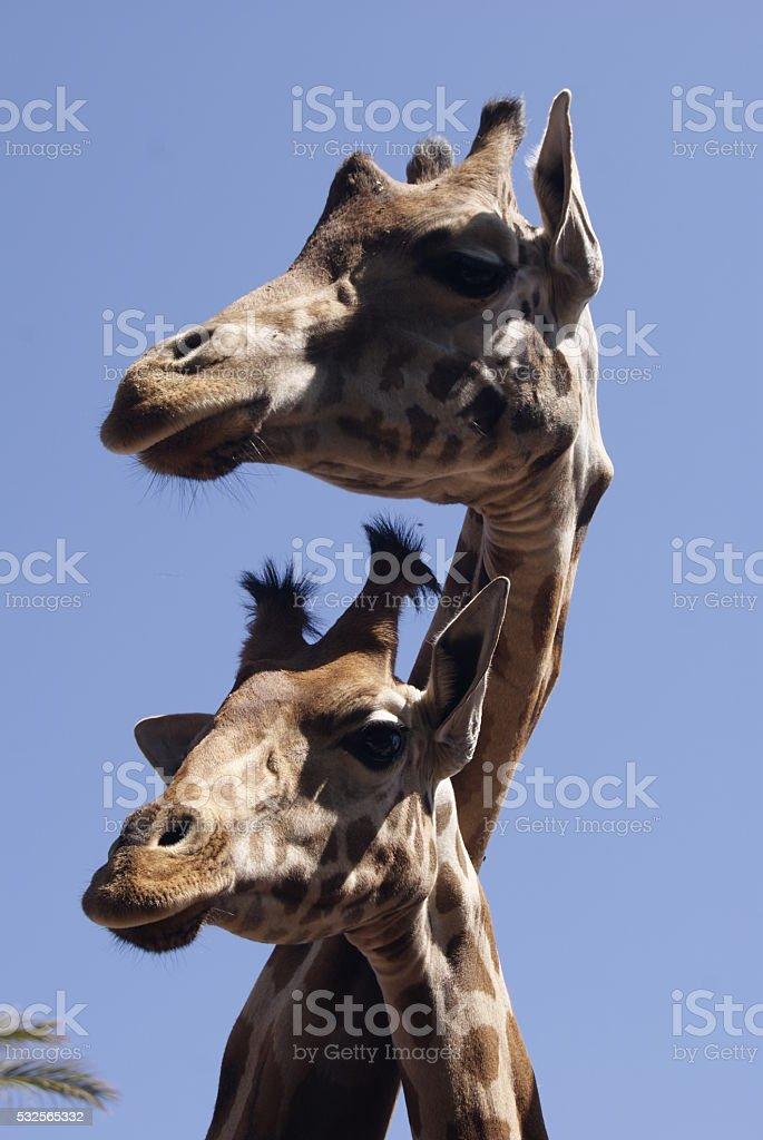 Retrato perfil de dos jirafas stock photo