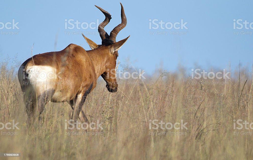 Retreating Red-Hartebeest stock photo