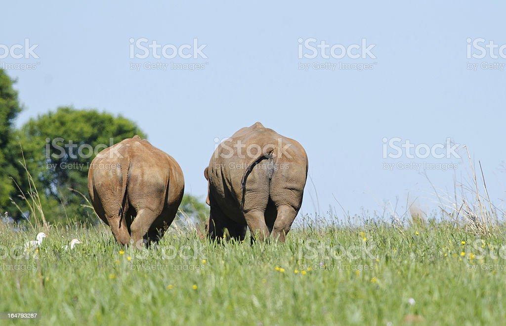 Retreating Rhinos stock photo