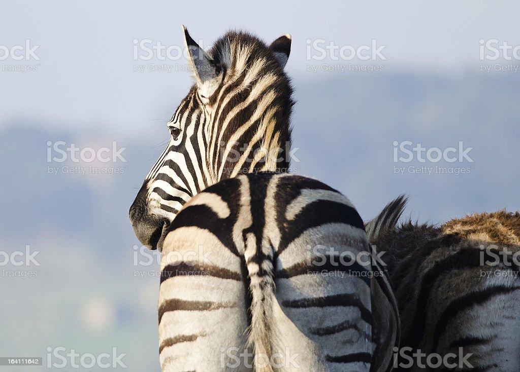 Retreating Zebra stock photo