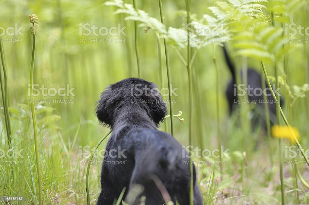 Retreiver puupy watching his sibling through tall ferns royalty-free stock photo