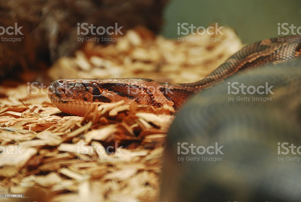 Retriculated Python (Retriculatus) royalty-free stock photo