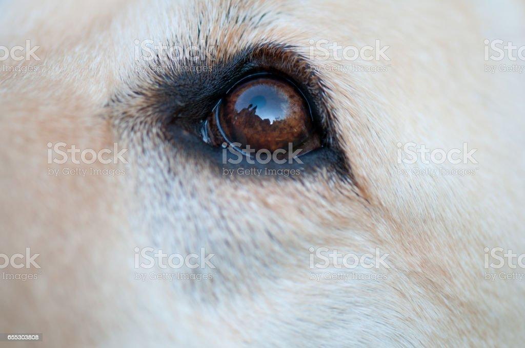 retriever dog eye closeup