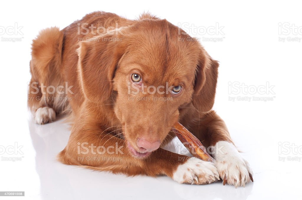 Retriever is chewing a chew toy stock photo