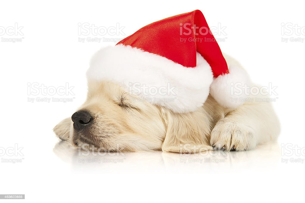 Retriever puppy in a Santa Claus hat royalty-free stock photo