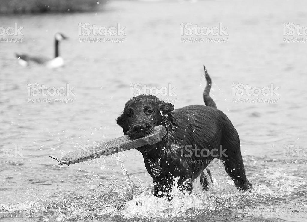 Retriever puppy in water stock photo