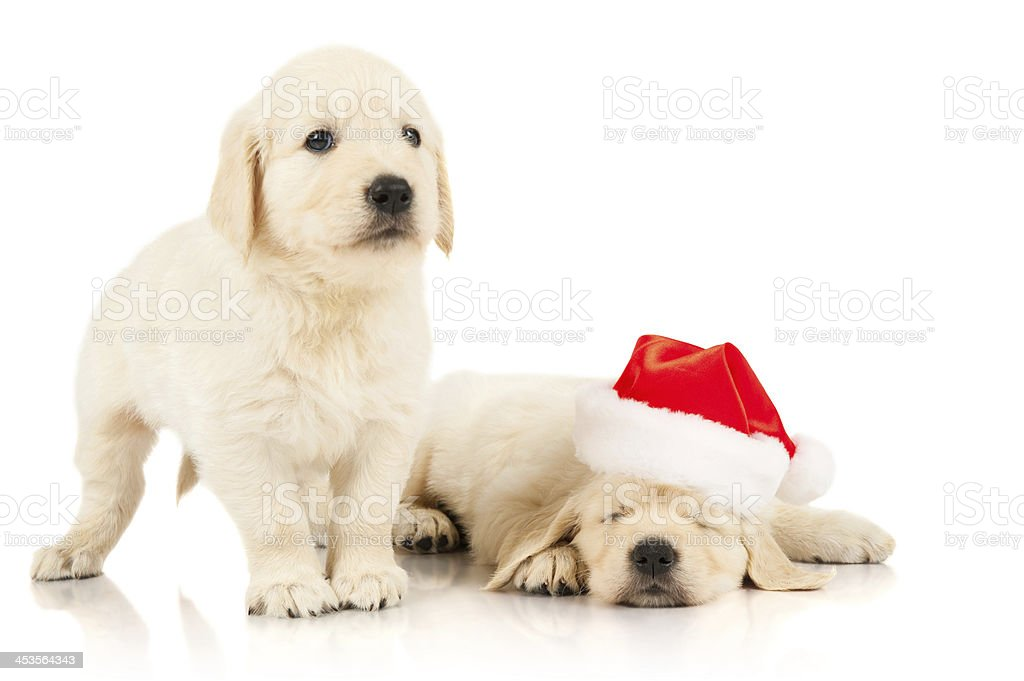 Retriever puppy, isolated on white royalty-free stock photo
