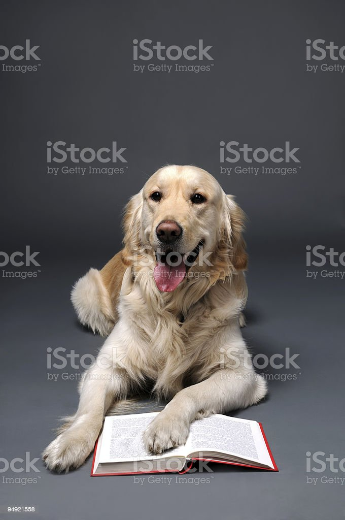 Retriever reading stock photo