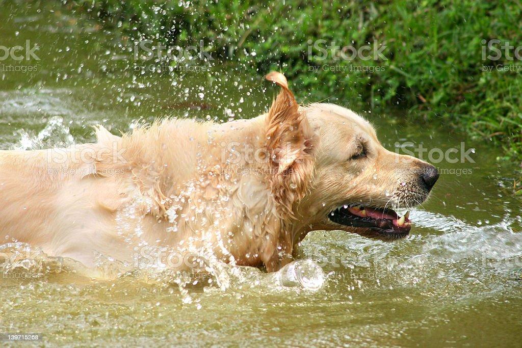 Retriever splash stock photo