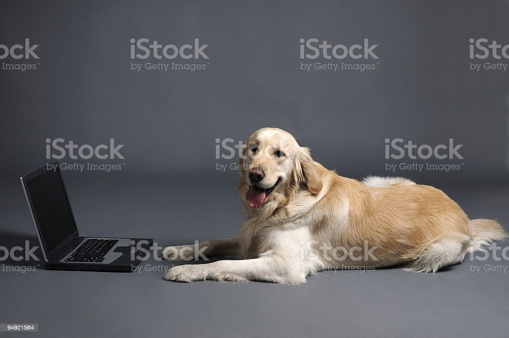 Retriever with laptop royalty-free stock photo