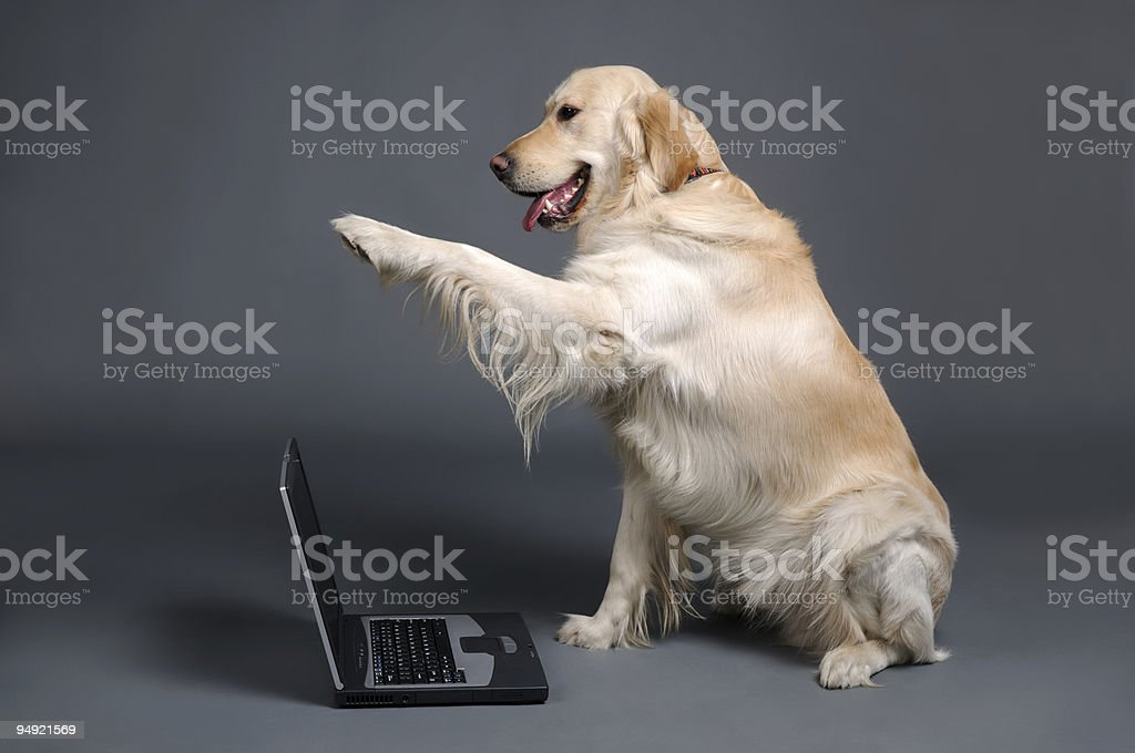 Retriever with laptop royalty-free stock photo