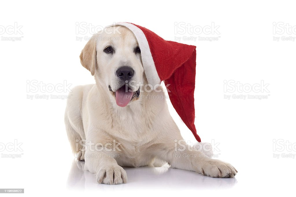 retriever with red Santa Claus hat stock photo