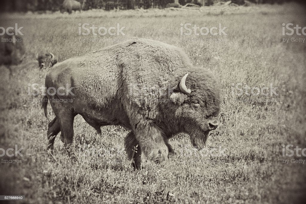 Retro Antiqued Bison in Hayden Valley of Yellowstone National Park stock photo