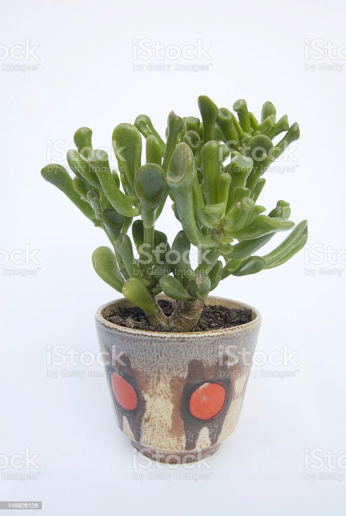 Retro Coral Succulent Pot Plant royalty-free stock photo