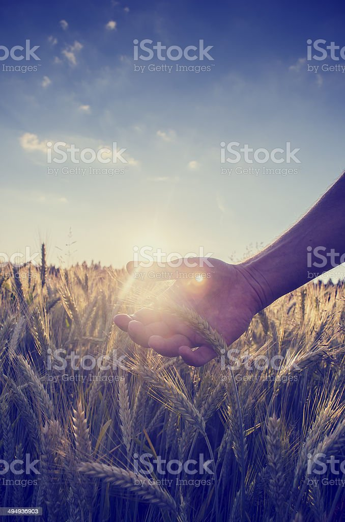 Retro image of hand cupping the wheat over a field stock photo