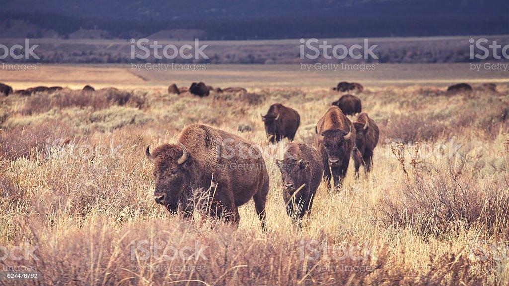 Retro toned herd of American bison grazing. stock photo