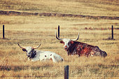 Retro toned Two Texas Longhorns resting on a dry meadow.