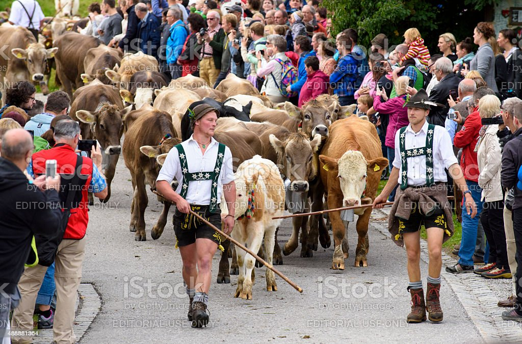return of cows from mountain pasture to valley in Bavaria stock photo