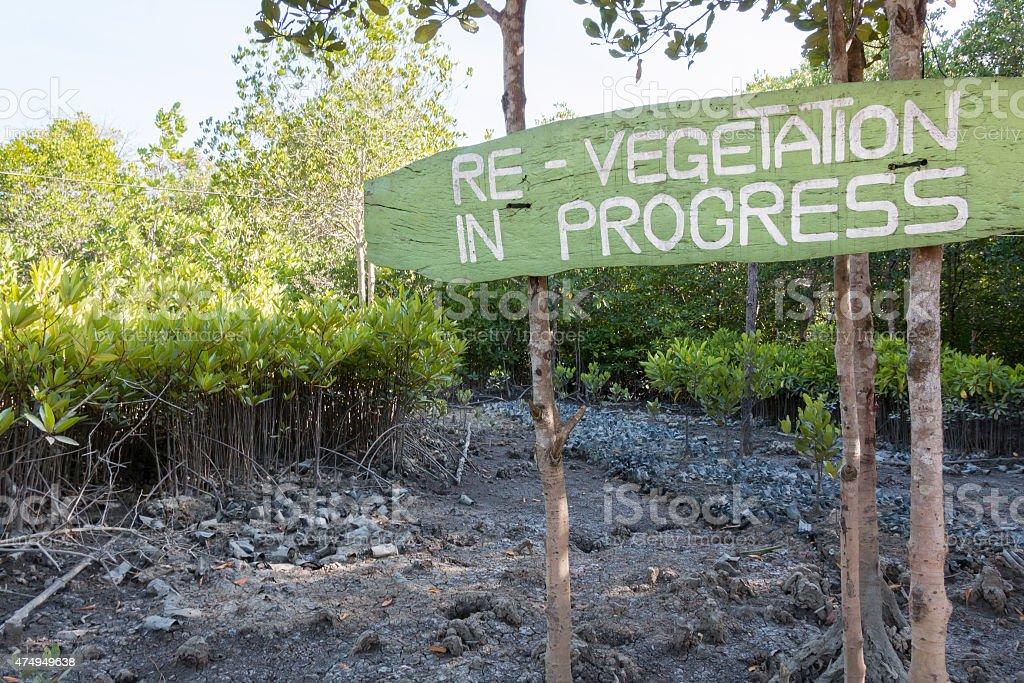 Re-vegetation of mangrove trees in progress stock photo
