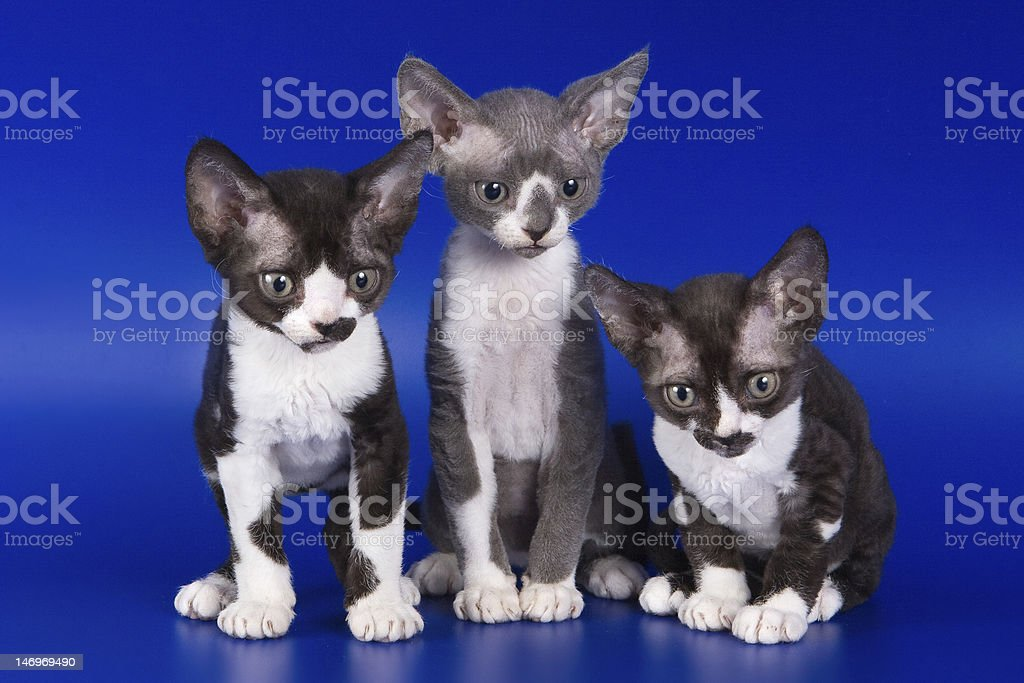 Rex kitten on blue background royalty-free stock photo