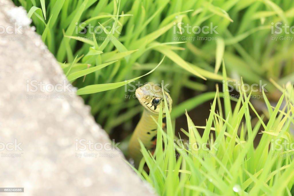 Rhabdophis tigrinus stock photo