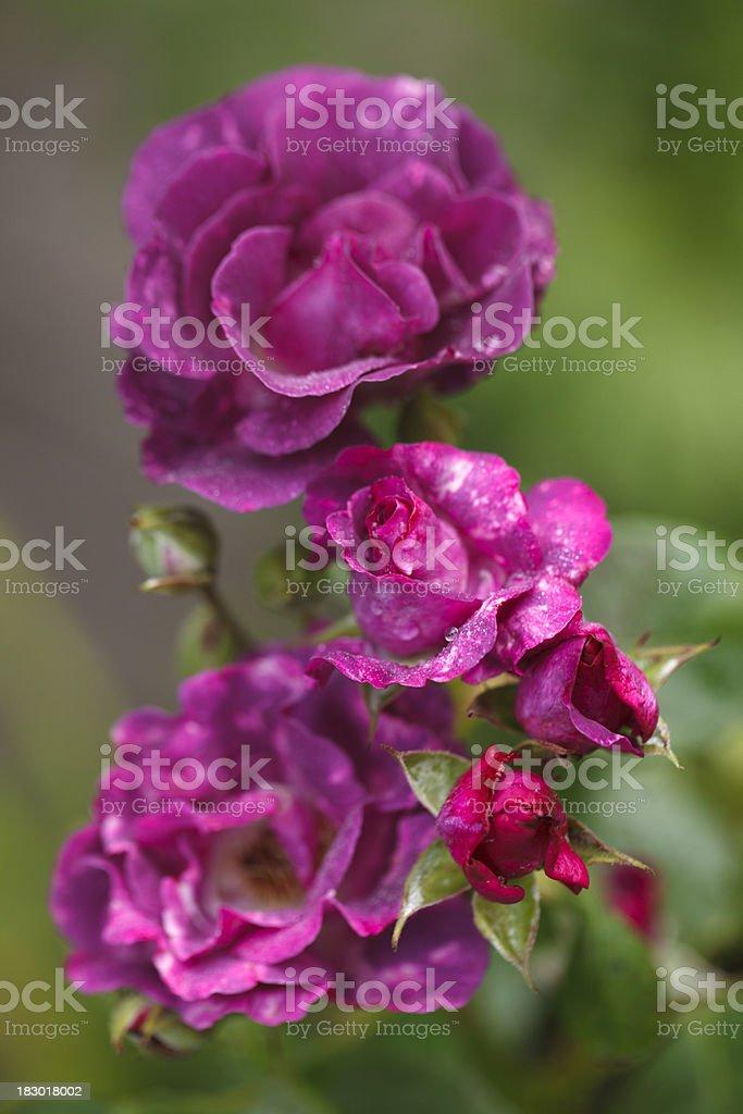 Rhapsody in Blue (Floribunda rose) stock photo