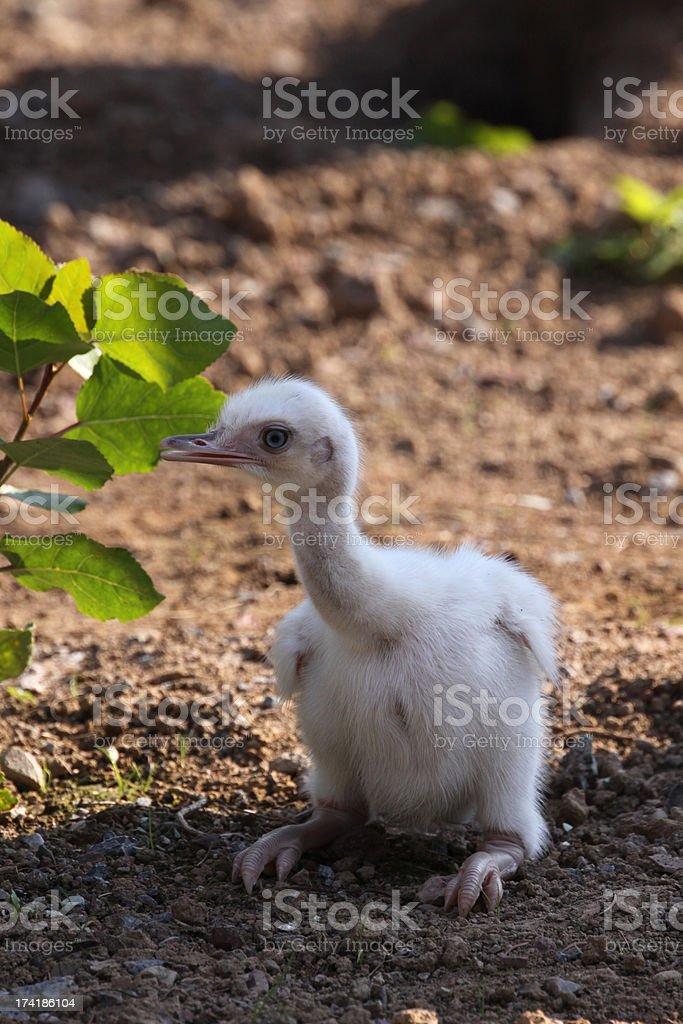 Rhea chick royalty-free stock photo