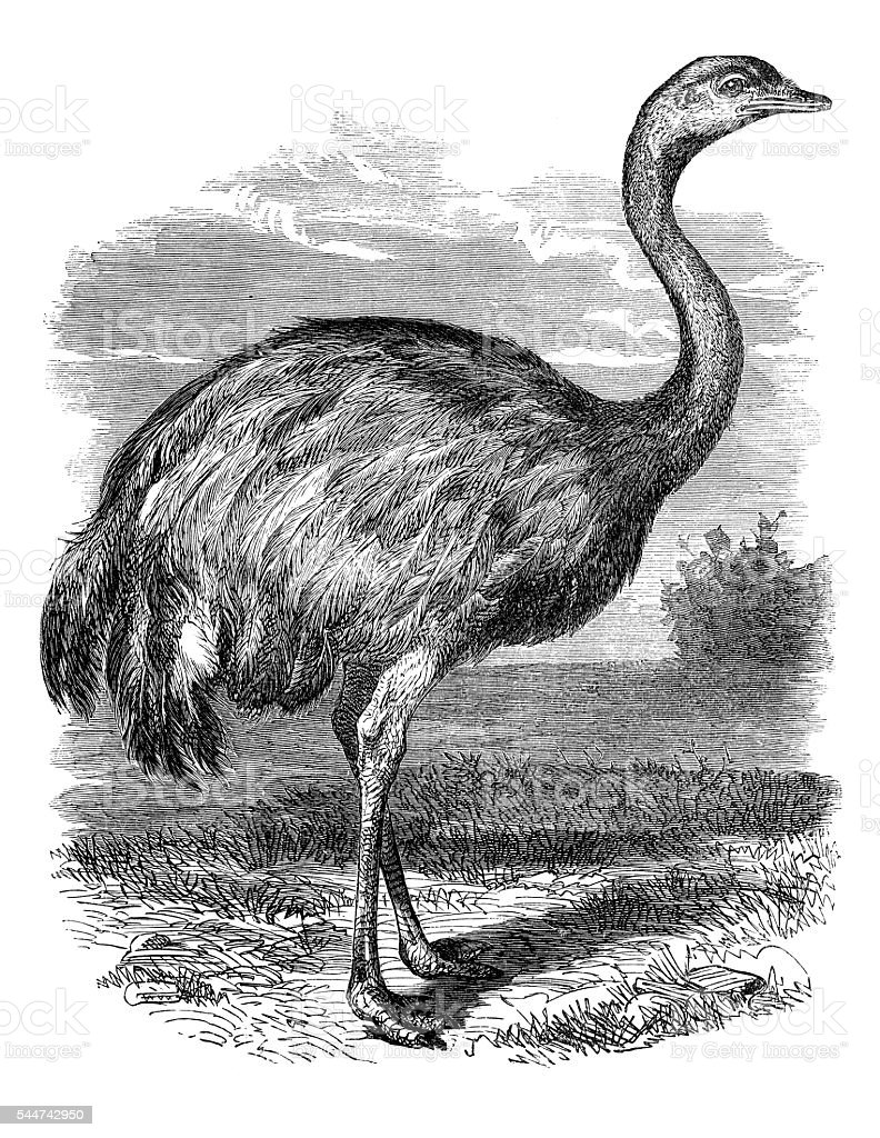 Rhea or nandu bird illustration 1881 stock photo