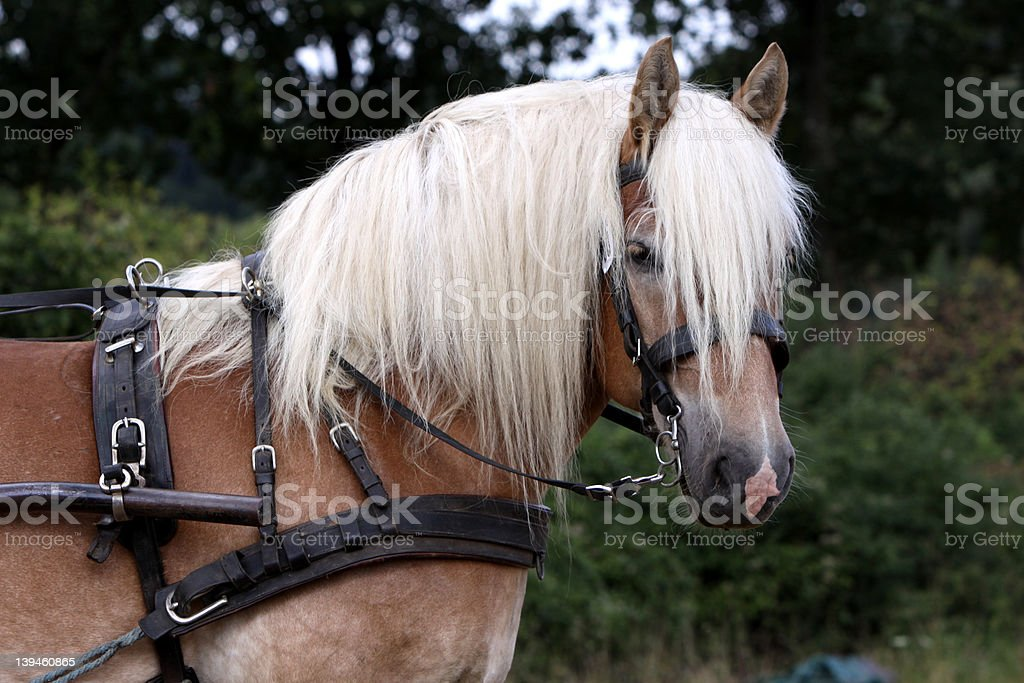 Rhenish German Draught Horse stock photo