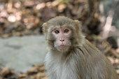 Rhesus macaque monkey (Macaca mulatta)