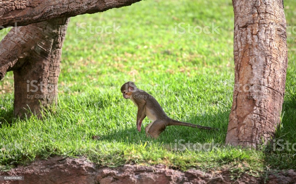 Rhesus macaque monkey stock photo
