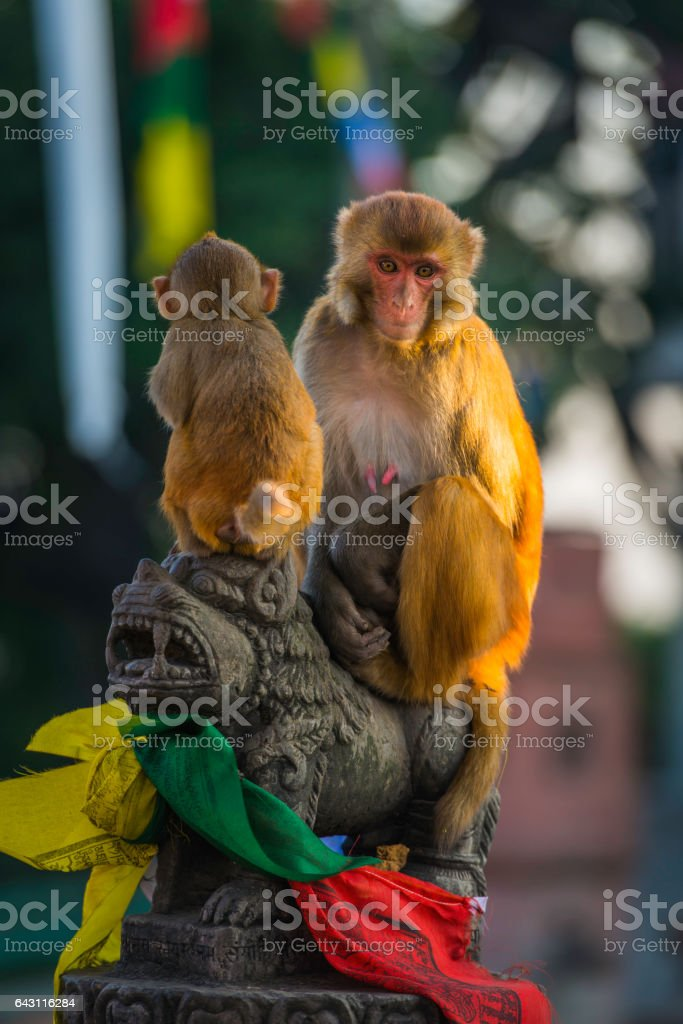 Rhesus macaque monkeys ancient temple Swayambhunath prayer flags Kathmandu Nepal stock photo