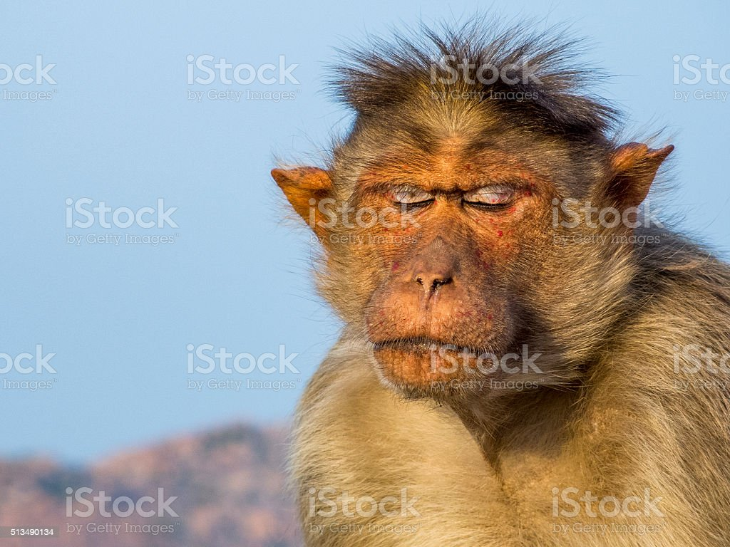 Rhesus Macaque Relaxed With Closed Eyes stock photo