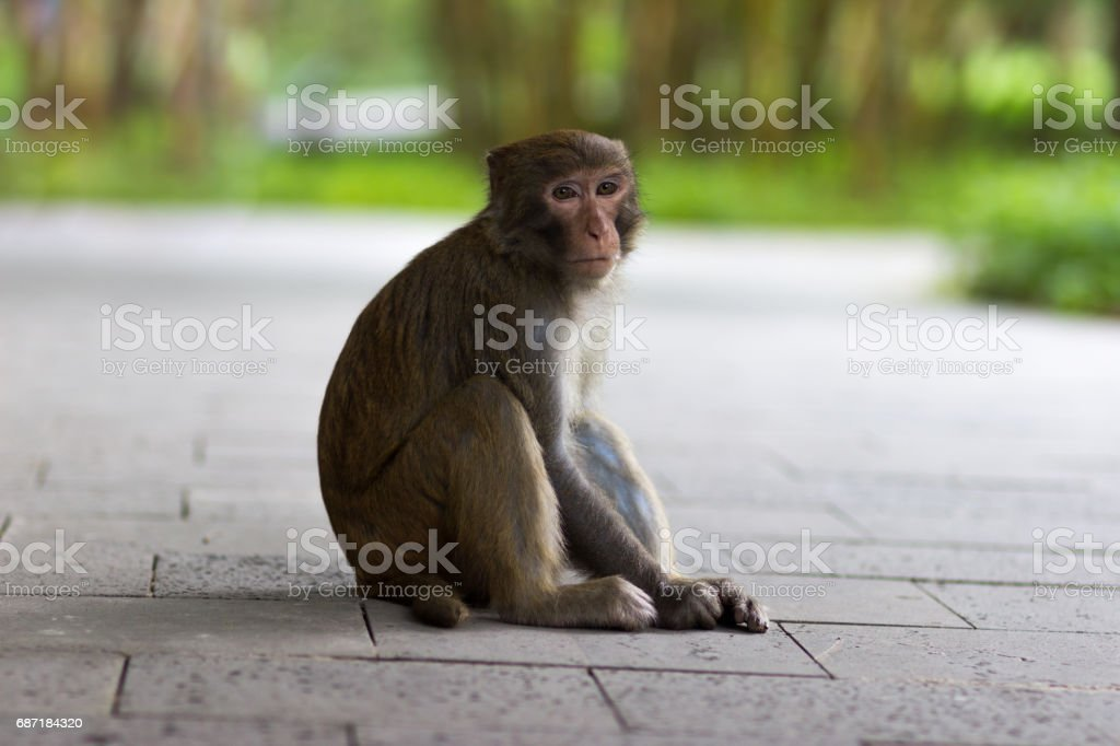 Rhesus macaque sits on a stone path stock photo