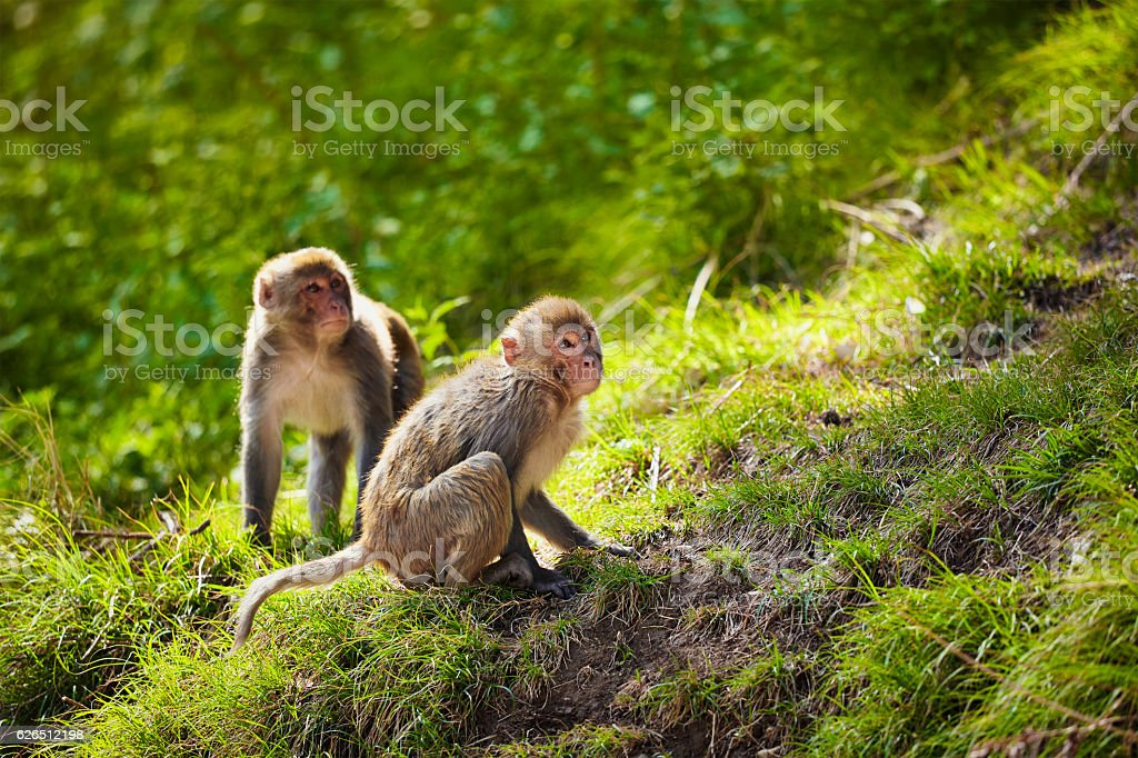 Rhesus macaques in India stock photo