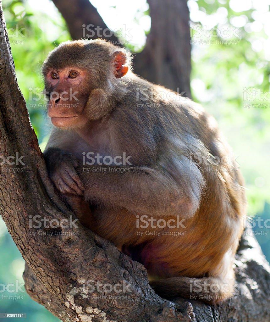 Rhesus makaque monkey stock photo