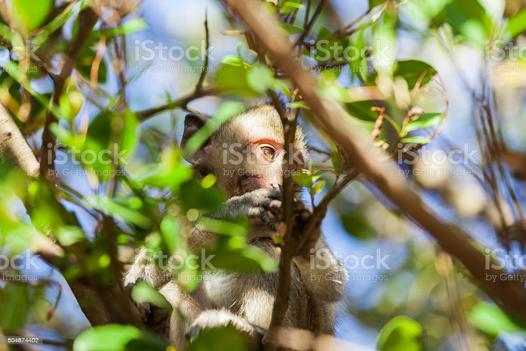 Rhesus monkey in a tree behind twigs and leaves stock photo