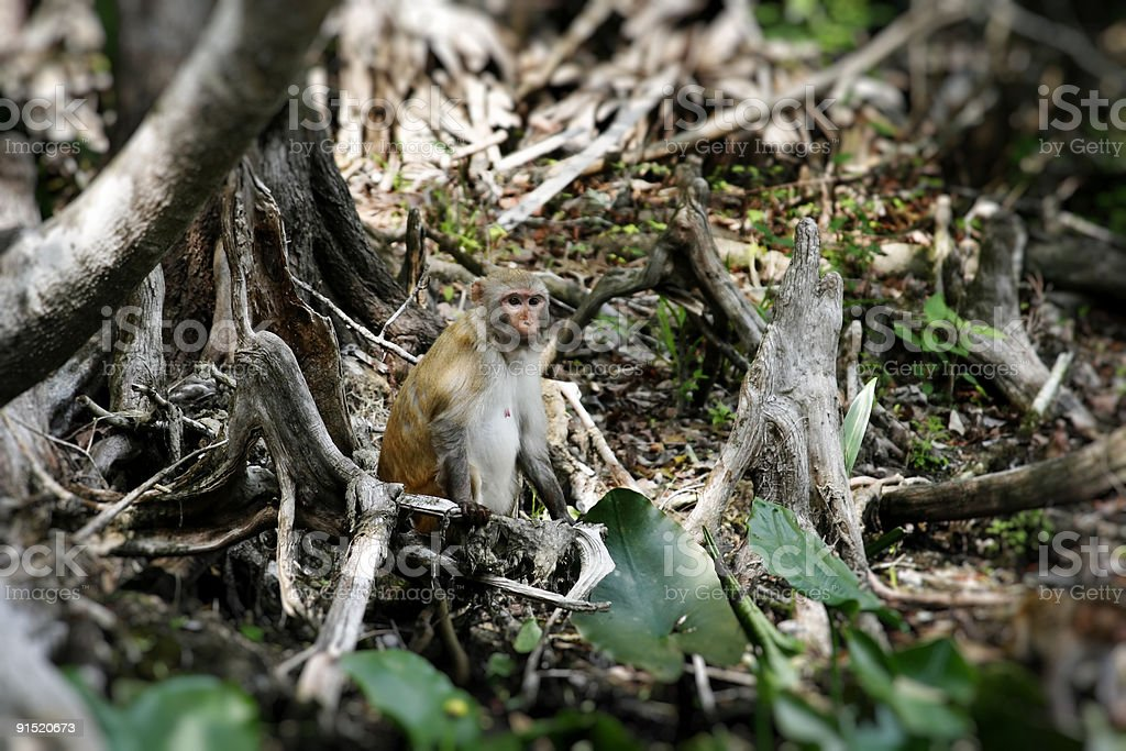 Rhesus Monkey in group of trees stock photo