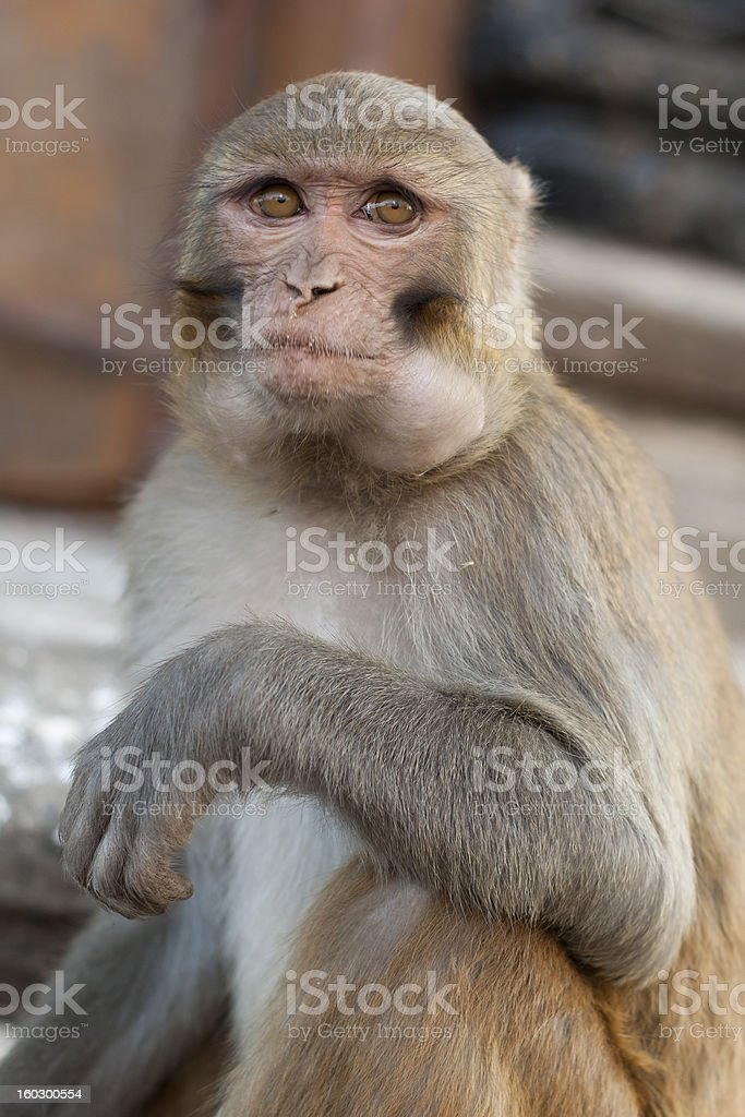 Rhesus monkey with food pouch in cheeks royalty-free stock photo