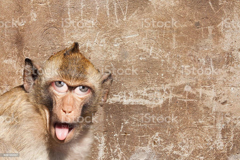 Rhesus monkey with his tongue sticking out, with human eyes stock photo