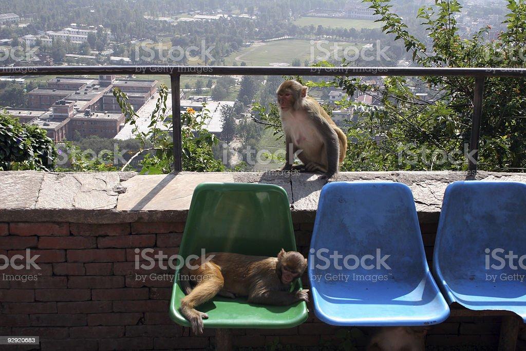 Rhesus Monkeys - Nepal royalty-free stock photo