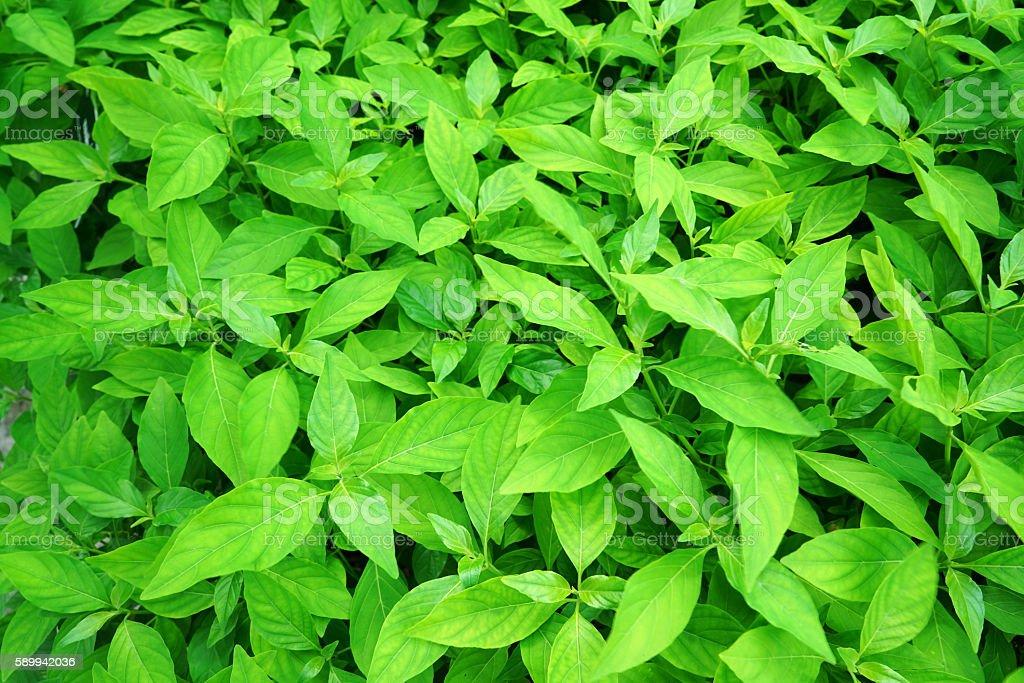 rhinacanthus nasutus stock photo