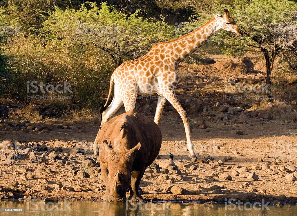 Rhino and friends at the waterhole stock photo