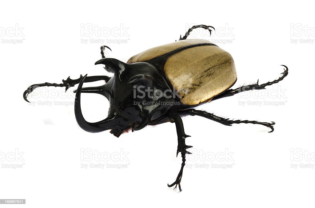 rhino beetle bug. royalty-free stock photo