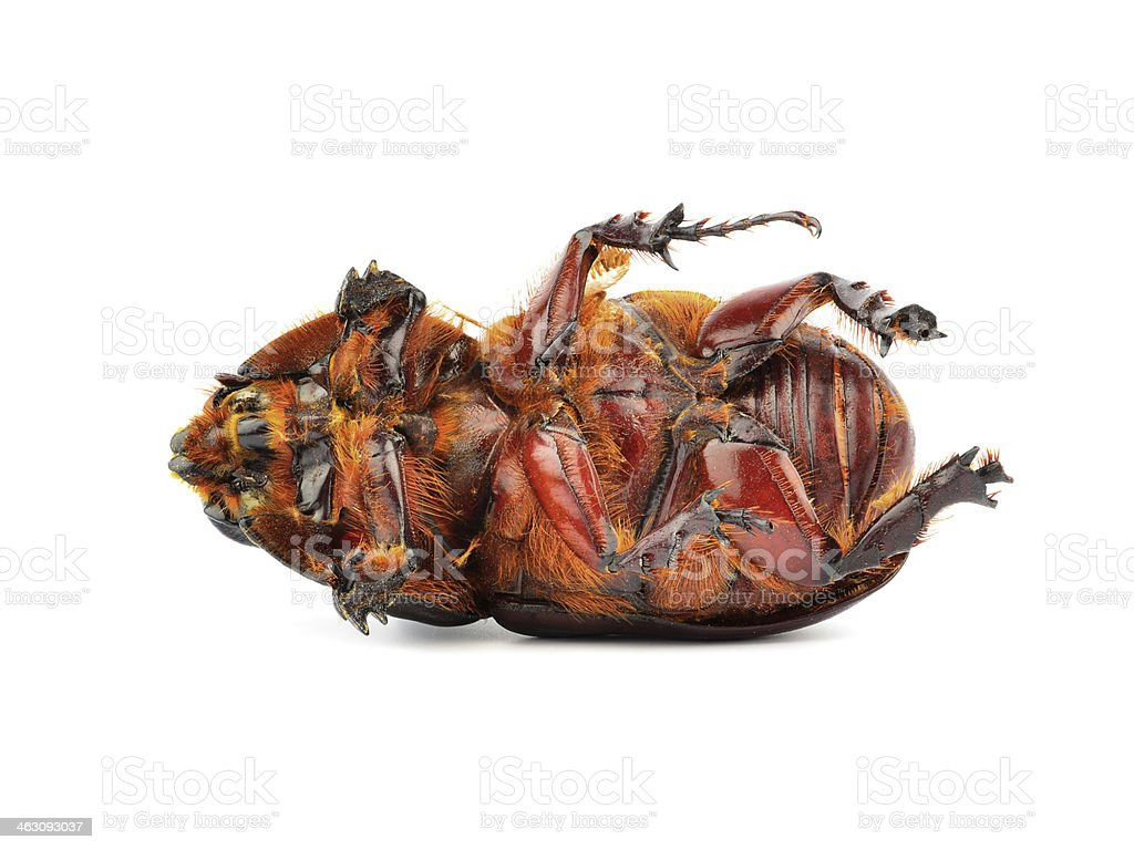 Rhino beetle (Oryctes nasicornis) stock photo