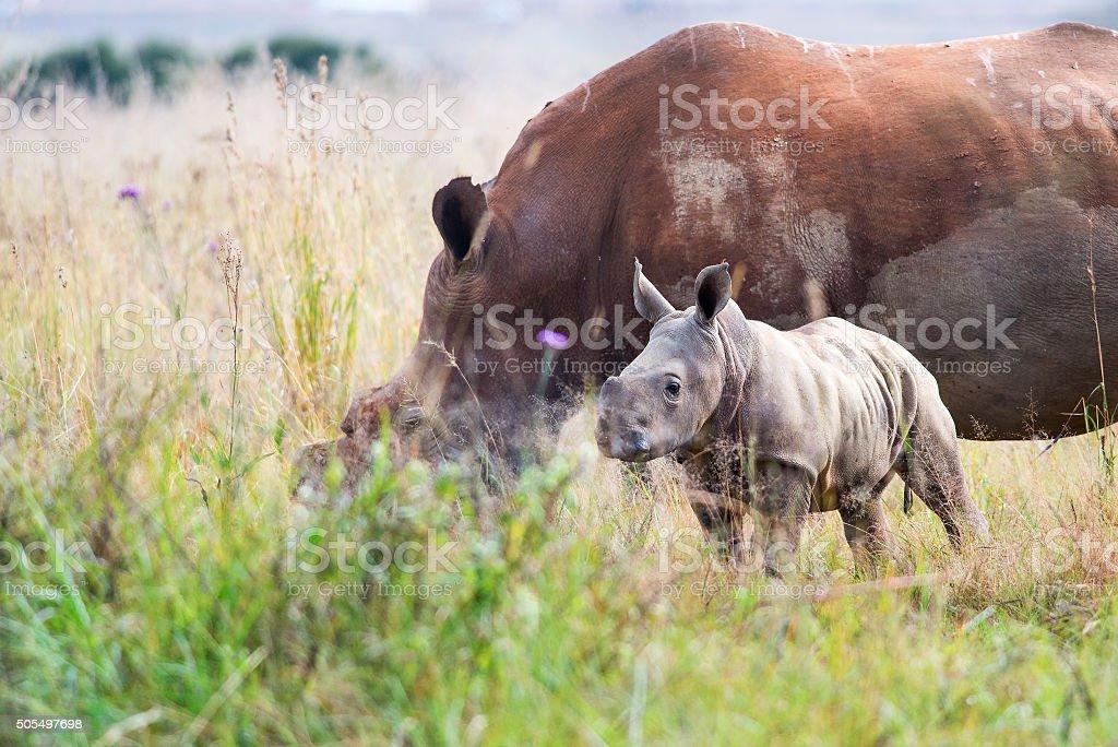 Rhino calf approaches stock photo